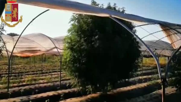 Marijuana coltivata nell'azienda agricola: la scoperta | VIDEO