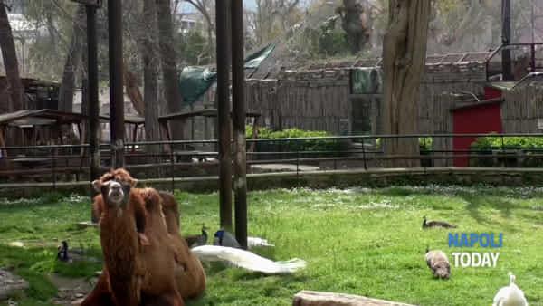 """Coronavirus, viaggio nello zoo senza visitatori: """"Ad alcuni animali manca l'uomo"""""""