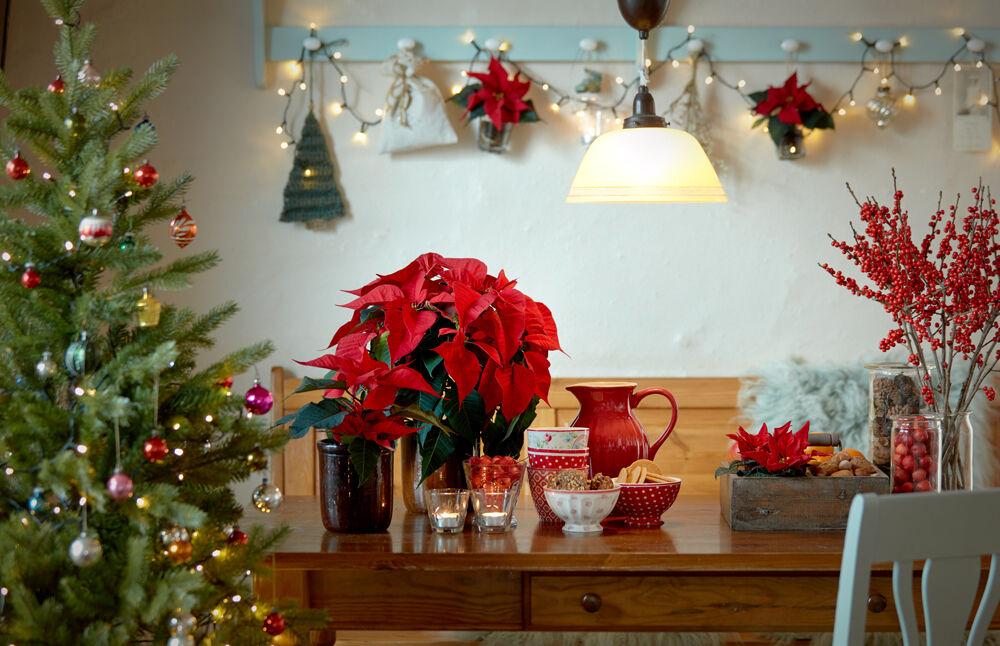 Cura Della Stella Di Natale.Stella Di Natale Trucchi E Segreti Per Mantenerla In Salute